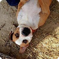 Adopt A Pet :: Hooch - Columbia, SC
