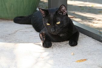 Domestic Shorthair Cat for adoption in Naples, Florida - Winston