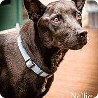 Adopt A Pet :: 383428 Nellie - San Antonio, TX