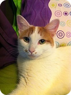 Domestic Shorthair Cat for adoption in Burbank, California - Lucy Rose