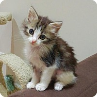Adopt A Pet :: Pipsqueak - Richmond Hill, ON