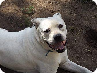 American Bulldog Dog for adoption in Rosemount, Minnesota - Jeffrey