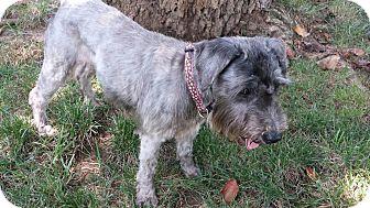 Miniature Schnauzer Dog for adoption in Cincinnati, Ohio - BELLA-Adoption Pending