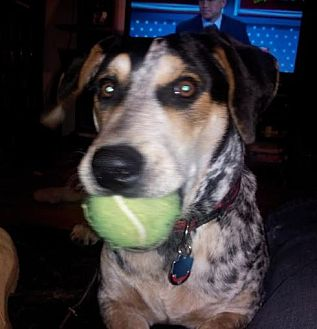 Bluetick Coonhound Mix Dog for adoption in Chicago, Illinois - OX