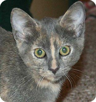Domestic Shorthair Kitten for adoption in Brighton, Missouri - Braveheart