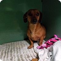 Dachshund Dog for adoption in Lubbock, Texas - RIKKI