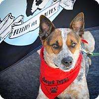 Adopt A Pet :: Dingo-ADOPT Me! - Redondo Beach, CA
