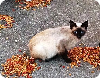 Siamese Cat for adoption in Somerset, Kentucky - Truffles