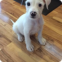 Terrier (Unknown Type, Medium)/Border Collie Mix Puppy for adoption in Fort Collins, Colorado - Tracker (FORT COLLINS)