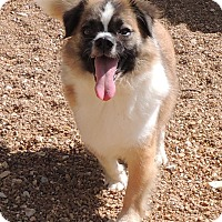 Adopt A Pet :: Kuriboh - House Springs, MO