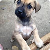 Adopt A Pet :: Honey - Shorewood, IL