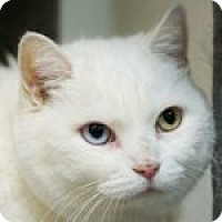 Adopt A Pet :: Snow White - Medford, MA
