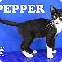 Domestic Shorthair Kitten for adoption in Carencro, Louisiana - Pepper