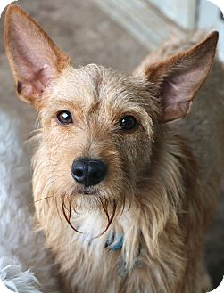Irish Terrier Mix Dog for adoption in Woonsocket, Rhode Island - Wally