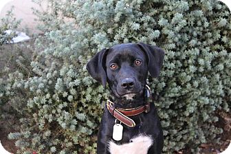 Labrador Retriever Mix Dog for adoption in Los Angeles, California - Louie