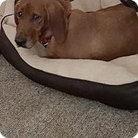 Adopt A Pet :: Lily - Pataskala, OH