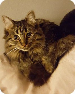 Maine Coon Cat for adoption in Troy, Michigan - Hannah