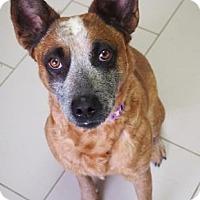 Adopt A Pet :: Amber Lynn - Philadelphia, PA