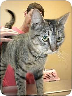 Domestic Shorthair Cat for adoption in Baton Rouge, Louisiana - Delta
