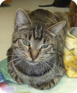 Domestic Shorthair Cat for adoption in Hamburg, New York - Crazy Baby