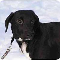 Adopt A Pet :: Suki - Rigaud, QC