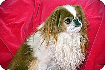 Japanese Chin Dog for adoption in Aurora, Colorado - Putter