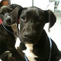 Labrador Retriever Mix Puppy for adoption in Trenton, New Jersey - Scoular