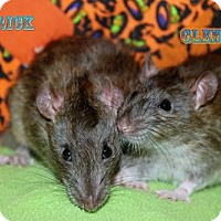 Rat for adoption in Walker, Louisiana - Rick