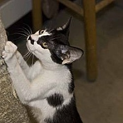 Photo 3 - Domestic Shorthair Cat for adoption in New Port Richey, Florida - Fernando