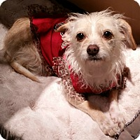 Maltese/Terrier (Unknown Type, Small) Mix Dog for adoption in Beverly Hills, California - Cissy Spacek