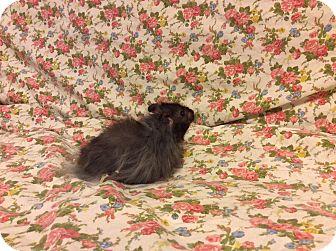 Hamster for adoption in Mesa, Arizona - Racer
