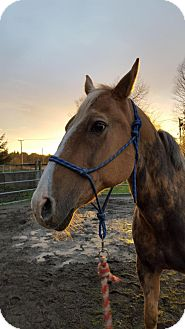 Palomino Mix for adoption in Bellingham, Washington - Mojo