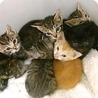 Adopt A Pet :: Mittens Kittens (6) - Pompton lakes, NJ