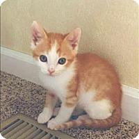 Adopt A Pet :: Orphan 3 Aka Marmalade - Sherwood, OR