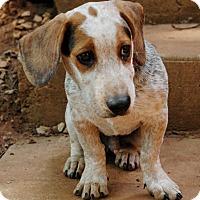 Adopt A Pet :: Cooper - Lawrenceville, GA
