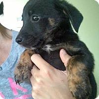Adopt A Pet :: Karr (QB Crew) - Frederick, MD