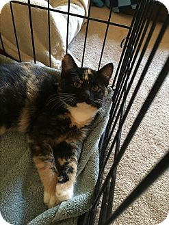 Domestic Mediumhair Kitten for adoption in El Dorado Hills, California - Haley