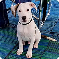 American Pit Bull Terrier Puppy for adoption in Spotsylvania, Virginia - Chance