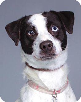 Australian Cattle Dog/Terrier (Unknown Type, Medium) Mix Dog for adoption in Pt. Richmond, California - SMOKEY