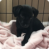 Terrier (Unknown Type, Small) Mix Puppy for adoption in Woodstock, Georgia - Simone