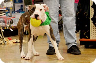 Pit Bull Terrier Mix Dog for adoption in Rockford, Illinois - Dakota
