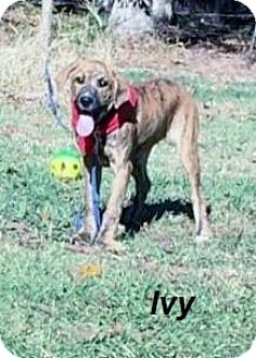 Boxer Mix Puppy for adoption in Manchester, Connecticut - Ivy in CT