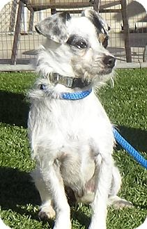 Terrier (Unknown Type, Small) Mix Dog for adoption in Inglewood, California - Scruffy