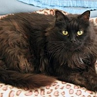 Maine Coon Cat for adoption in Santa Paula, California - Sheba