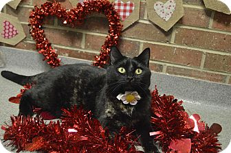 Domestic Shorthair Cat for adoption in Germantown, Tennessee - Sissy