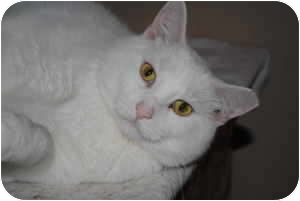 Domestic Shorthair Cat for adoption in Marion, Wisconsin - Chablis