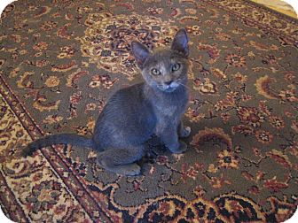 Domestic Shorthair Kitten for adoption in Chandler, Arizona - Loxi