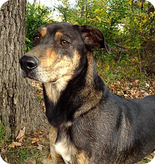 Shepherd (Unknown Type)/Coonhound Mix Dog for adoption in Groton, Massachusetts - JoJo