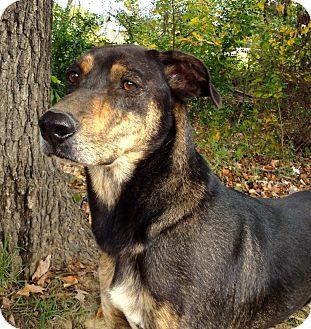 Shepherd (Unknown Type)/Coonhound Mix Dog for adoption in Charlemont, Massachusetts - JoJo