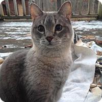 Adopt A Pet :: Duchess - Bentonville, AR